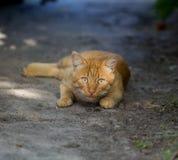 The orange cat lies Stock Image