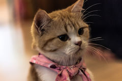Orange Cat. Little orange cat with pink neck-cloth Stock Photos