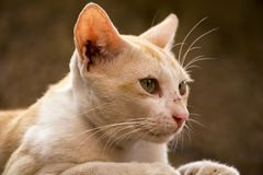 Orange Cat looking side. Orange singe Cat looking front stock images