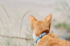 Orange cat is looking something to drink in the morning. Orange cat is looking something to drink in the summer morning royalty free stock photo