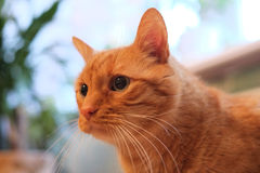 Orange cat. An orange cat looking to the side Royalty Free Stock Photos