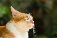 Cat looking up for something. Orange cat looking up something in green garden blurred background Royalty Free Stock Photos