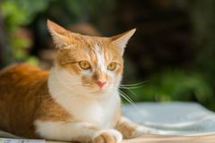 Cat looking up for something. Orange cat looking up something in green garden blurred background Stock Photography