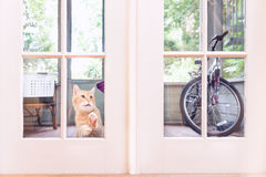 Orange Cat Looking in Window of House from the Outside. An orange cat sits on porch of house scratching at the bottom pane of a French door waiting eagerly to be Royalty Free Stock Photography