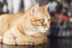 Orange cat lying Stock Photography