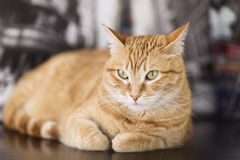 Orange cat lying Stock Photos