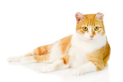 Orange cat lying in front.  on white background Stock Images