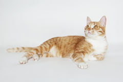Orange cat lying on the white. Domestic cat Royalty Free Stock Photography
