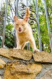 Orange cat meowing with angry or fierce expression. Detail on a cat meowing in a fence with fierce or angry expression Royalty Free Stock Photo