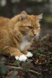 Orange Cat. My orange cat in the dirt Stock Image