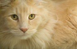 Free Orange Cat Portrait Royalty Free Stock Photo - 13133205
