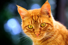 Orange Cat Portrait Stock Photo