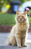 Orange cat Royalty Free Stock Images