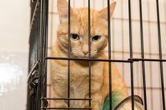 Orange cat is sad caged  shelter Royalty Free Stock Photo