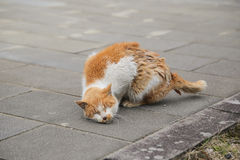Orange cat scratching fleas Royalty Free Stock Photo