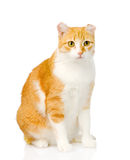 Orange cat sitting in front.  on white background Royalty Free Stock Photography