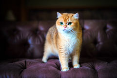 Orange cat sitting on a sofa Stock Images