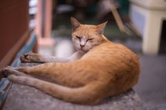 Sleepy face brown cat royalty free stock image
