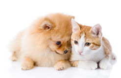 Orange cat and spitz dog together. Royalty Free Stock Image