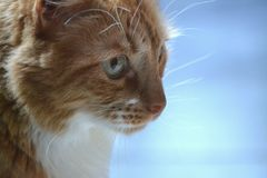 An orange cat stares into distance. An orange cat stares off, observing something out of the frame Royalty Free Stock Image