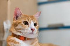Orange cat staring at something. Orange cute cat  peeking staring at something looking out to go outside Stock Photos