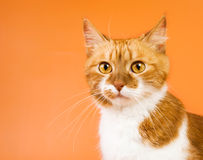 Orange cat surprised Royalty Free Stock Photography