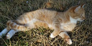 Orange cat swishing tail. Ginger cat laying in grass stock photos