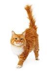 Orange cat walking Stock Images