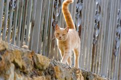 Orange cat walking on a fence. Ginger cat walking on a fence and looking at the camera royalty free stock images