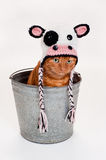 Orange Cat Wearing a Cow Costume and Sitting in a Bucket Royalty Free Stock Images