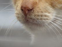 Orange Cat Whiskers on a white blurred background. The image depics an Orange Cat Whiskers on a white blurred background, it`s nose is visible stock photo