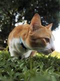A orange cat on the yard. A orange cat looks something on the yard stock image