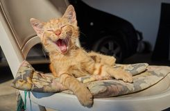 Orange cat yawning. On a chair royalty free stock photo
