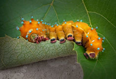 Orange Caterpillar Royalty Free Stock Photos