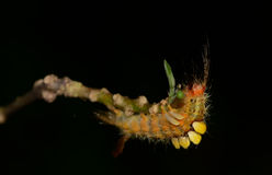 Orange caterpillar eating leaves on tree branch  with black blur Stock Images