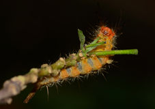 Orange caterpillar eating leaves on tree branch  with black blur Royalty Free Stock Images
