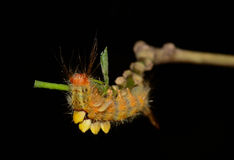 Orange caterpillar eating leaves on tree branch  with black blur Royalty Free Stock Photo