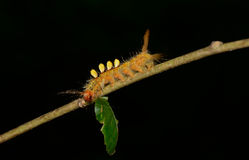 Orange caterpillar eating leaves on tree branch  with black blur Royalty Free Stock Image