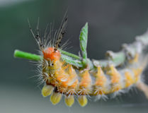 Orange caterpillar eating leaves on tree branch Stock Image