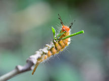 Orange caterpillar eating leaves on tree branch Royalty Free Stock Images