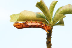 The orange caterpillars Royalty Free Stock Image