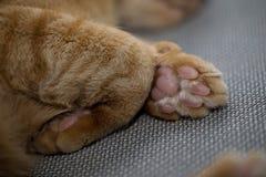 Orange catpaw der getigerten Katze Stockfotos