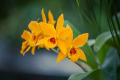 Orange Cattleya Stock Photos