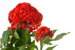 Orange celosia. Picture of a orange celosia flower Royalty Free Stock Image
