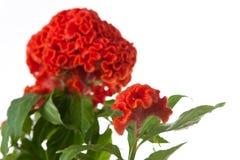 Orange celosia Royalty Free Stock Image
