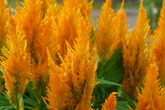Orange Celosia flower Stock Photography