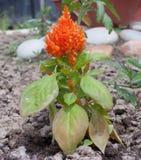 Orange celosiablomma på en oavkortad tillväxt för rabatt Royaltyfri Bild