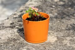Orange ceramic flower pot with small freshly blooming rose with white to violet petals on concrete wall background. Orange ceramic flower pot with small freshly royalty free stock photos