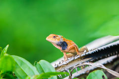 Orange chameleon Royalty Free Stock Image
