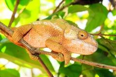 Orange Chameleon Royalty Free Stock Photo